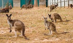 Riparte l export di canguri australiani note dal pacifico for Costruttori domestici del nordovest pacifico